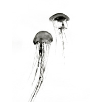 travaux_meduses
